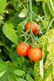 Cherry tomatoes growing in the garden Stock Image