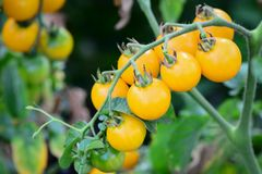Cherry tomatoes growing in natural conditions photo. Sprig with cherry tomatoes. Cherry tomatoes growing in the garden Royalty Free Stock Photos
