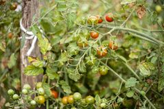 Cherry Tomatoes Growing verde Fotografia de Stock Royalty Free