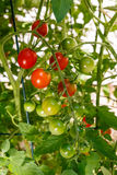 Cherry Tomatoes Growing on the Vine Stock Image