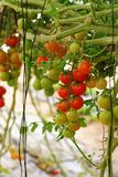 Cherry tomatoes growing on the vine. Closeup Royalty Free Stock Image