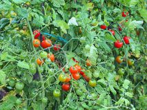 Cherry Tomatoes Growing on Vine Stock Images
