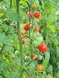 Cherry Tomatoes Growing on Vine Stock Image