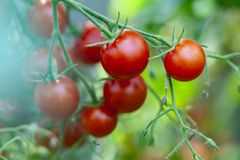 Cherry Tomatoes Growth immagine stock