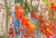 Cherry tomatoes hanging in organic farm Royalty Free Stock Images