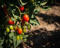 Cherry Tomatoes-het groeien op de wijnstok en het rijpen in verschillende stadia stock afbeeldingen
