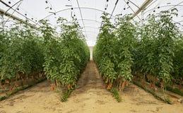 Cherry Tomatoes i ett tekniskt avancerat växthus fotografering för bildbyråer