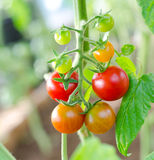 Cherry tomatoes, macro Stock Image