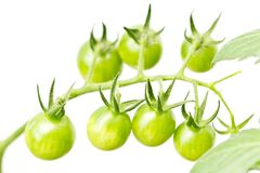 Cherry tomatoes are not ripe yet. This is a picture of still not ripe cherry tomatoes I have grown Stock Photography