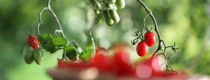 Free Cherry Tomatoes On The Plant In Vegatable Garden Stock Photos - 96714703