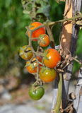 Cherry tomatoes on the plant Stock Photo