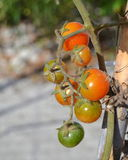 Cherry tomatoes on the plant Royalty Free Stock Images