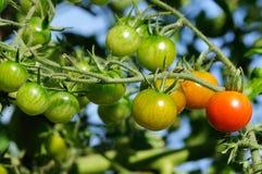 Cherry tomatoes Royalty Free Stock Photo
