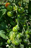 Cherry Tomatoes plants growing every where in summer Stock Photos