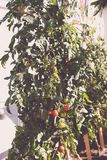 Cherry tomatoes plants growing in an urban roof garden Royalty Free Stock Image