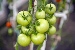 Cherry tomatoes production royalty free stock photo