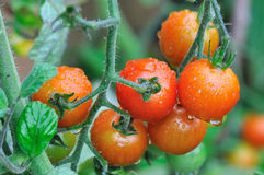 Cherry tomatoes in rainy weather Royalty Free Stock Photography