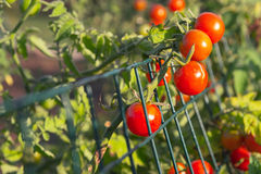 Cherry tomatoes. Red cherry tomatoes in garden Royalty Free Stock Image