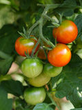 Cherry tomatoes ripen on its vine Royalty Free Stock Photography