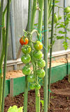Cherry tomatoes ripening on the bush. In a greenhouse Royalty Free Stock Photos