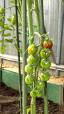 Cherry tomatoes ripening on the bush. In a greenhouse Stock Photos