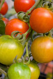Cherry tomatoes. Ripening on the vine Royalty Free Stock Photo