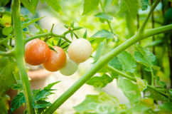 Cherry tomatoes. Stock Photography