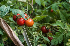 Cherry tomatoes. A shot of home grown cherry tomatoes taken Stock Photos