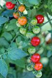 Cherry Tomatoes, Tomatoes, Ripe Stock Image