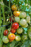 Cherry tomatoes on the tree Stock Photo
