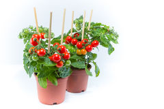 Cherry tomatoes trees planted on brown pots with white backgroun Stock Images