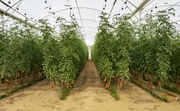 Cherry Tomatoes in una serra di High Tech immagine stock