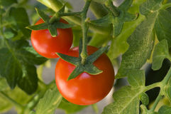 Cherry tomatoes on the vine Stock Photos