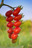 Cherry tomatoes on vine Royalty Free Stock Photos