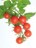 Cherry tomatoes on vine. Bright red cherry tomatoes on a vine isolated on white Stock Photo