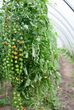 Cherry tomatoes on the vine Royalty Free Stock Photography