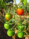 Cherry tomatoes on vine Stock Photography