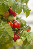 Cherry tomatoes on vine Stock Images