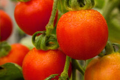 Cherry tomatoes on the vine. Cherry tomatoes ripening on the vine Royalty Free Stock Photo