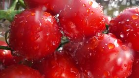 Cherry tomatoes and water pouring on it. Cherry tomatoes closeup macro washing with water, slow motion 32 times slower video stock video footage