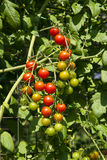 Cherry Tomatoes Stages Of Ripening Stock Photography