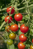 Cherry Tomatoes Ripening On A Vine Stock Image