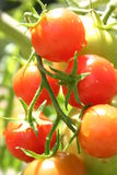 Cherry tomatos. Red cherry tomato Royalty Free Stock Images