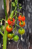 Cherry tomatos on the vine rain droplets. Ripe and unripe cherry tomatos on the plant  vine outdoors in a vegetable garden with water droplets Stock Photo