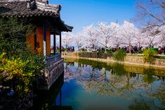 Cherry Blossom valley,wuxi,china. Cherry tower,Wuxi Taihu Yuantouzhu Park Cherry Blossom valley royalty free stock image