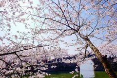Cherry Blossom valley,wuxi,china. Cherry tower,Wuxi Taihu Yuantouzhu Park Cherry Blossom valley royalty free stock photos