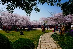 Cherry Blossom valley,wuxi,china. Cherry tower,Wuxi Taihu Yuantouzhu Park Cherry Blossom valley royalty free stock images