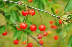 Cherry Cherry träd Arkivfoton