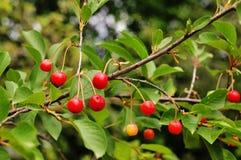 Cherry Cherry träd Fotografering för Bildbyråer