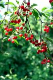Cherry Cherry träd i den soliga trädgården Royaltyfri Fotografi